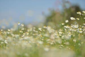 fleur marguerite champ